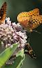 Four Butterflies © Miriam A. Kilmer