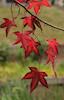 Annandale Autumn, Red and Green © Miriam A. Kilmer