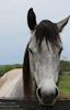 A Friendly Grey Horse © Miriam A. Kilmer