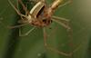 Spiders Mating © Miriam A. Kilmer