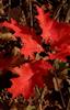 Oak Saplings, Autumn, Blue Ridge © Miriam A. Kilmer