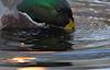 Mallards Munching on Golden Pond © Miriam A. Kilmer