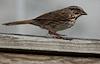 Song Sparrow on Matching Balcony © Miriam A. Kilmer