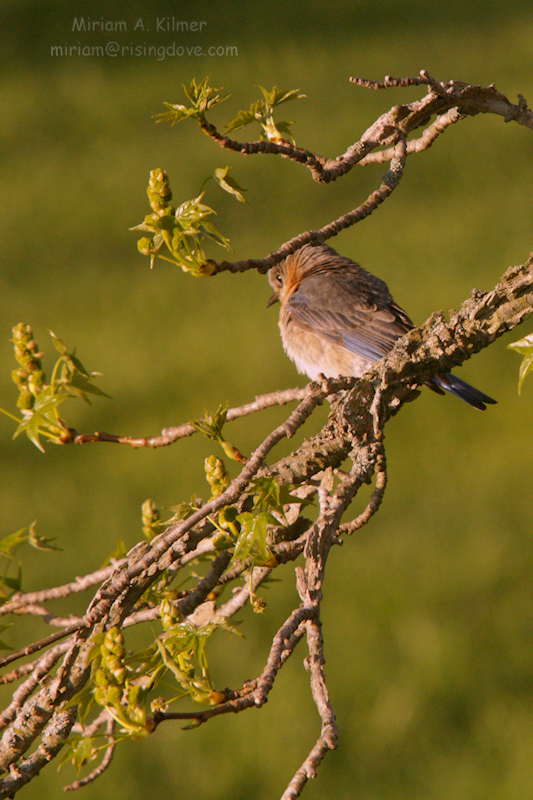 Sunrise: Female Bluebird © Miriam A. Kilmer