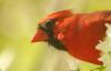 Male Cardinal Amid Spring Blossoms, Edith J. Carrier Arboretum © Miriam A. Kilmer