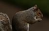 Grey Squirrel; Patio Picnic © Miriam A. Kilmer