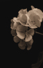 Beaming Begonias © Miriam A. Kilmer