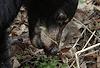 'Spring Salad' young bear eating  greens © Miriam A. Kilmer