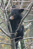 Black Bear Cub 2 © Miriam A. Kilmer