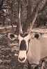 Gemsbok Oryx 1 © Miriam A. Kilmer