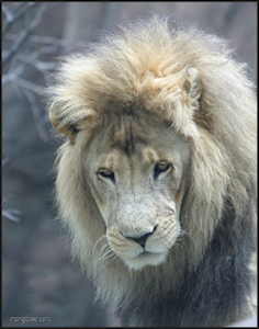 Male Lion #1 &copy; Miriam A. Kilmer