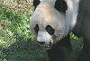 Mei Xiang #1 © Miriam A. Kilmer