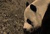 Mei Xiang #2 © Miriam A. Kilmer