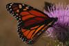 Monarch on a Thistle © Miriam A. Kilmer