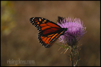 Monarch on a Thistle #3 &copy; Miriam A. Kilmer