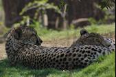 Sleeping Cheetahs 1 © Miriam A. Kilmer
