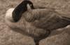 Geese That Lost Their Beaks © 2014 Rafael Angevine