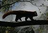 Red Panda #5 © Miriam A. Kilmer