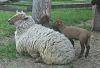 Sheep and Lambs 2 © Miriam A. Kilmer