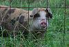 Spotted Pig1 © Miriam A. Kilmer