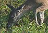 Two Deer Grazing Big Meadow 1 © Miriam A. Kilmer