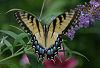 Yellow Swallowtail 2 © Miriam A. Kilmer