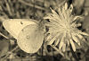 Clouded Yellow And Dandelion © Miriam A. Kilmer