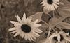Sunflower #3 © Miriam A. Kilmer
