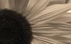 Sunflower #4 © Miriam A. Kilmer