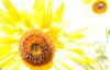 Sunflower #5 © Miriam A. Kilmer