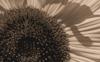 Sunflower #6 © Miriam A. Kilmer