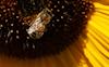 Sunflower #8 © Miriam A. Kilmer