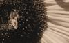 Sunflower #10 © Miriam A. Kilmer
