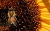 Sunflower #11 © Miriam A. Kilmer