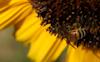 Sunflower #15 © Miriam A. Kilmer