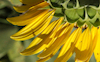 Sunflower #16 © Miriam A. Kilmer
