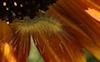 Sunflower #21 © Miriam A. Kilmer
