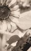 Sunflower #22 © Miriam A. Kilmer
