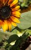 Sunflower #23 © Miriam A. Kilmer