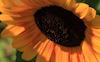 Sunflower #24 © Miriam A. Kilmer