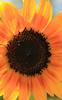 Sunflower #25 © Miriam A. Kilmer