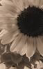 Sunflower #26 © Miriam A. Kilmer