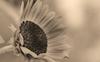 Sunflower #27 © Miriam A. Kilmer