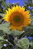 Sunflower #2 © Miriam A. Kilmer